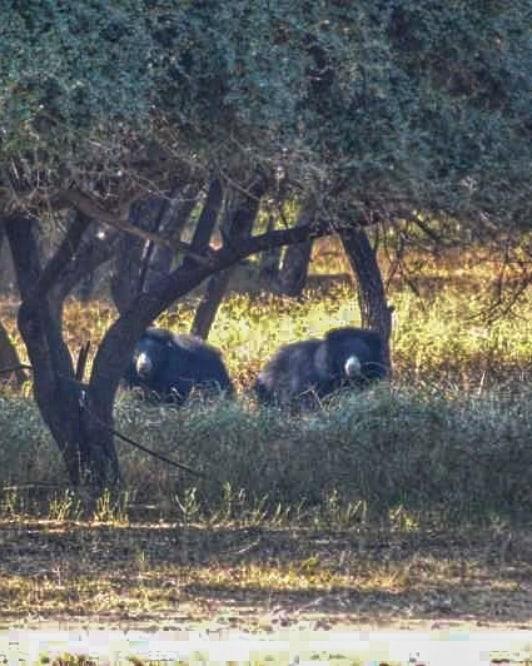 osos en ranthambore