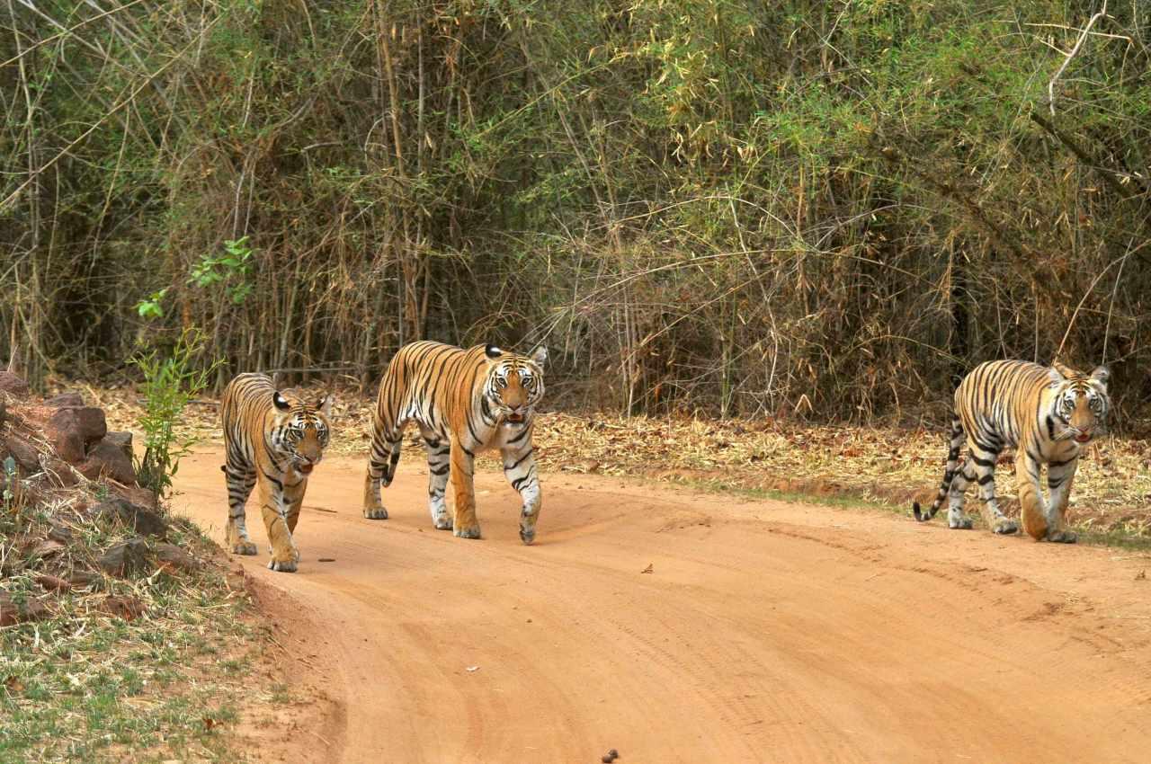 Bandhavgarh ver tigres en India