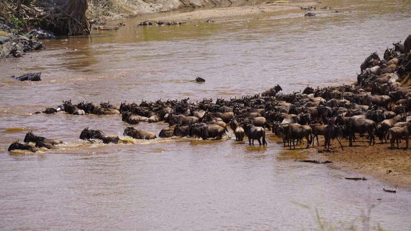 Cruce del Río Mara - Gran Migración Masai Mara