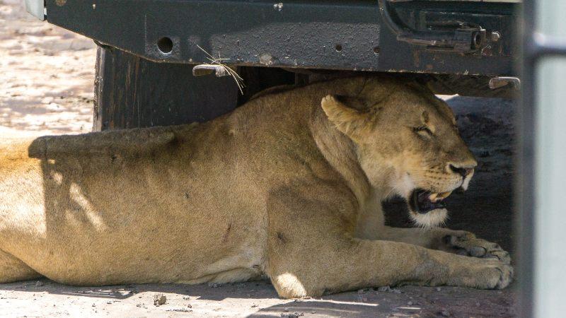leona en el parque nacional Ngorongoro