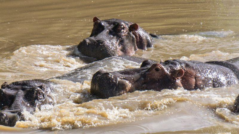 hipopótamos en el serengeti